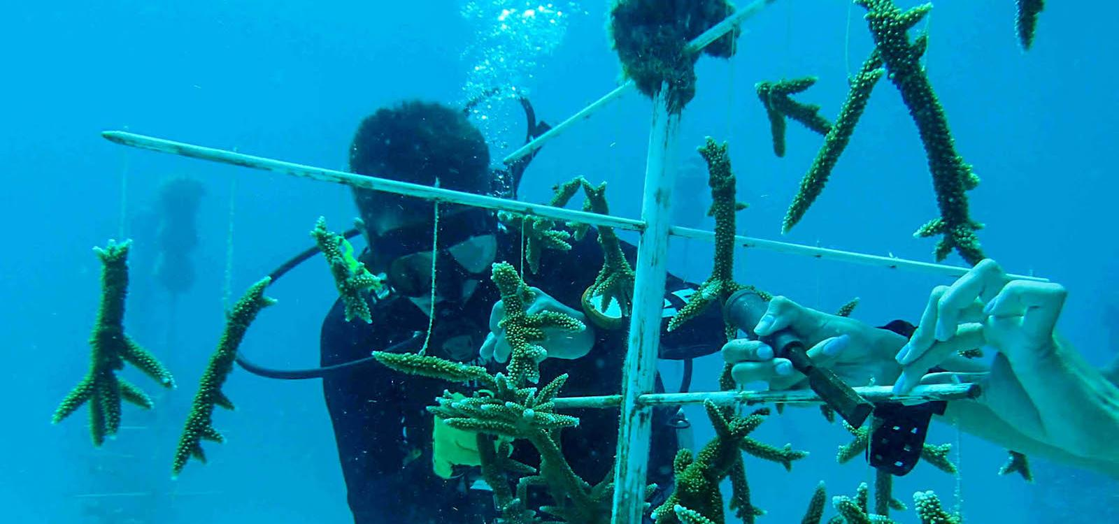 working to propagate corals